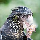 Eating Peanuts - black cockatoo by Jenny Dean