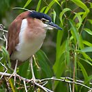 Out on a limb - Nankeen  Night Heron by Jenny Dean