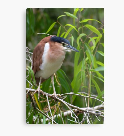 Out on a limb - Nankeen  Night Heron Metal Print
