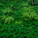 Redwood Sorrel And Fern  by Josef Grosch