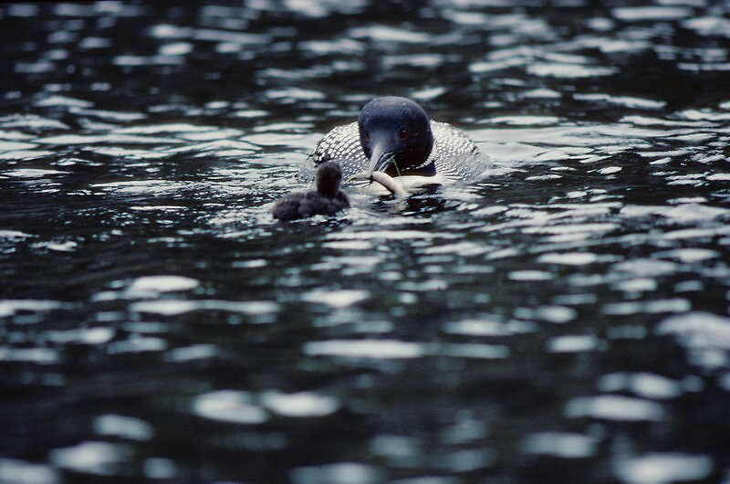 Feeding time for Baby Loon by Bertspix1