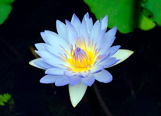 Blue - waterlilly by Jenny Dean