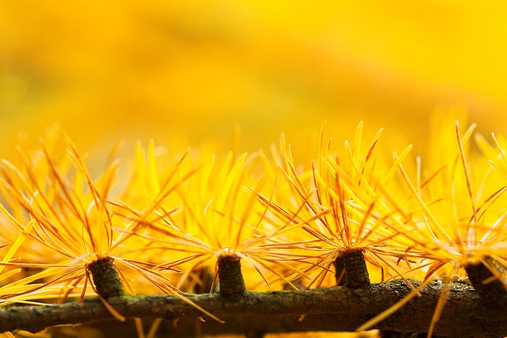 Larch Needles in Autumn by Jason Smalley