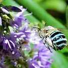 Blue Banded Bee by jodik75