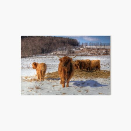 Scottish Highland Cattle Art Board Print