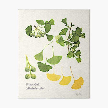 Ginkgo biloba botanical print Art Board Print