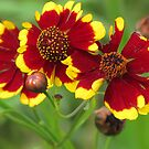 Plains Coreopsis by lorilee