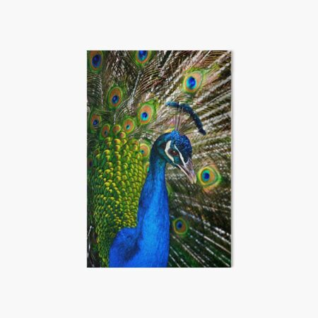 Peacock Art Board Print