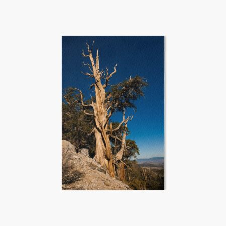 Ancient Bristlecone Pine Art Board Print