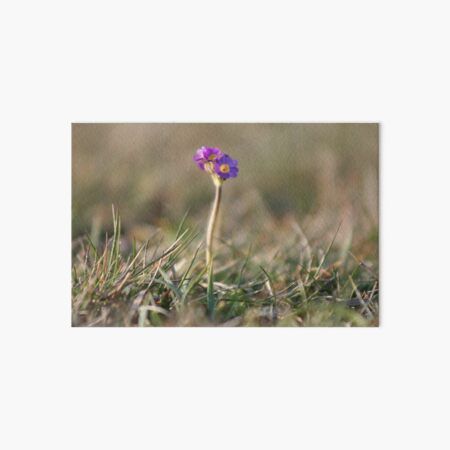 Primula Scotica Art Board Print