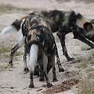 Wild dogs by Anthony Goldman