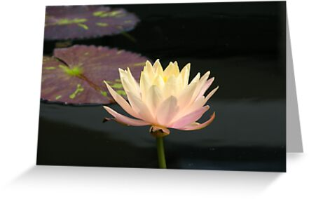 Water Lily by condyak