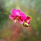 Phipps Orchid by Kathy Weaver