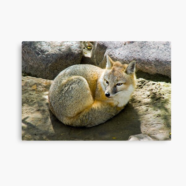 Swift Fox Canvas Print