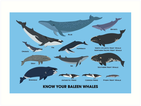 know your baleen whales art prints by pepomintnarwhal redbubble
