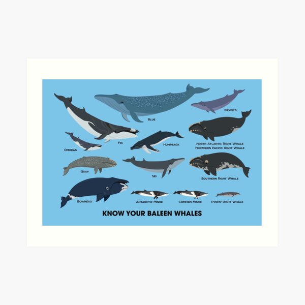 Know Your Baleen Whales Art Print