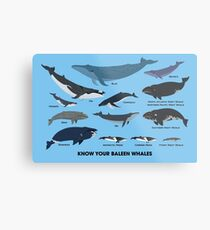 Know Your Baleen Whales Metal Print