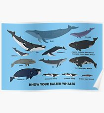 Know Your Baleen Whales Poster