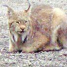 Summer Lynx by copperhead