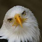 Bald Eagle pose by John Dalkin