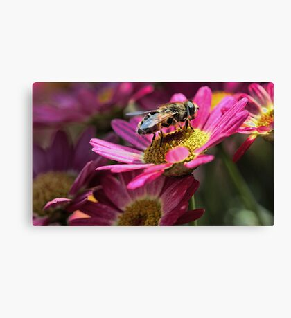 Honeybee - Marguerite Daisy Canvas Print