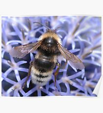 Mr Bumble bee Poster