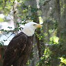 American Eagle  by Missy Yoder