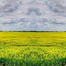 Canola Field (Pano) by Larry Trupp