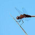 Regal Brown Dragonfly by Rosalie Scanlon