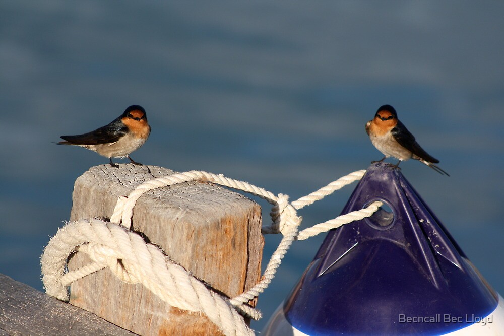 Welcome Swallows, Monkey Mia pier by Becncall Bec Lloyd