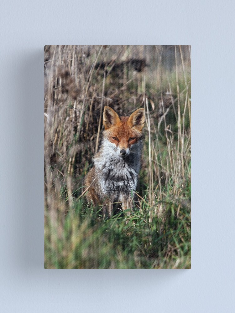 Alternate view of Fox in grass Canvas Print