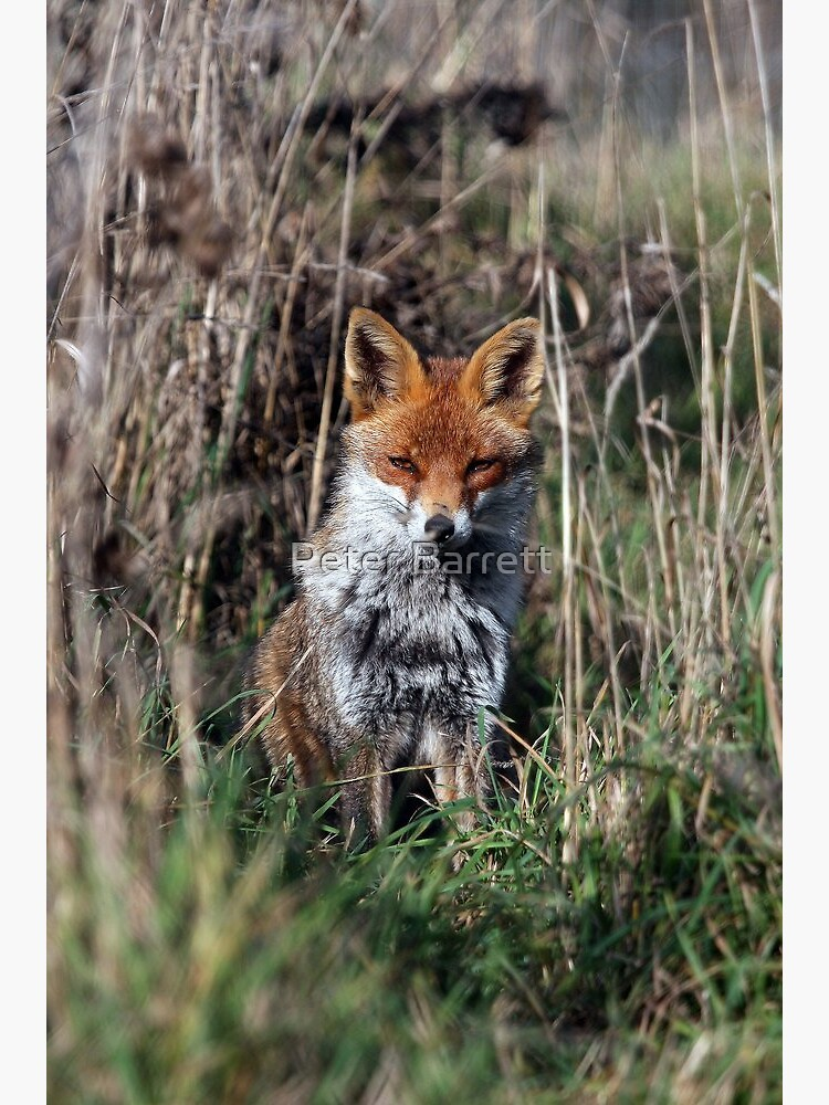 Fox in grass by hartrockets