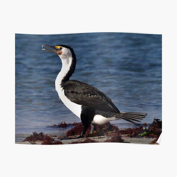 Australian Pied Cormorant Poster