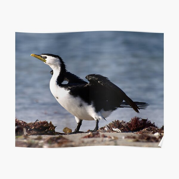 Little Pied Cormorant Poster