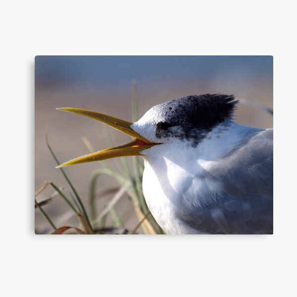 Greater Crested Tern Canvas Print