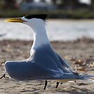 Adult Greater Crested Tern by Jon Staniland