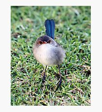 Blue wren Photographic Print