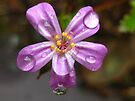herb robert in the rain by millymuso