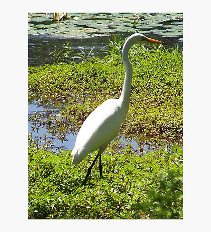 A beautiful Great Egret. Photographic Print