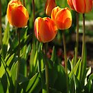 Orange Tulips by Kim Hart