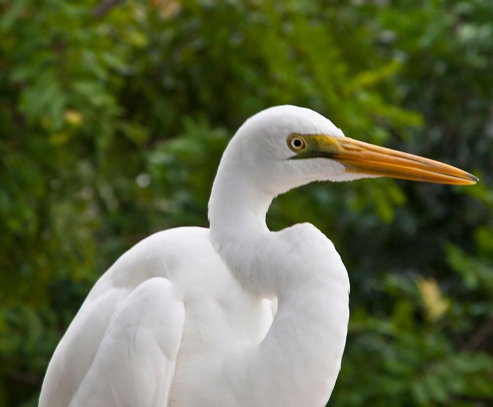 Egret portrait by Andrea Rapisarda