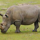 Rhino by roumen