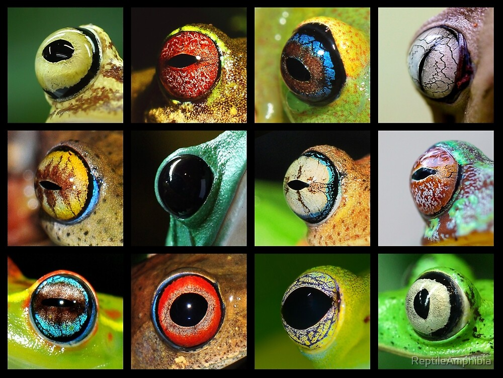 "A Rainbow of Frog Eyes"" by ReptileAmphibia 