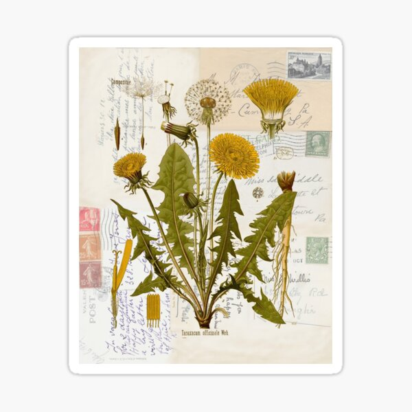 Dandelion Botanical on Antique Postcards  Sticker