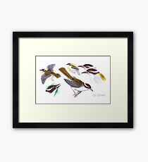 Strong-billed Honeyeater Framed Print