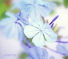 Blue softness by aMOONy