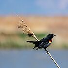 Red-Winged Blackbird by Len Bomba