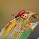 Cardinal Beetle,  Pyrochroa  serraticornis. by relayer51