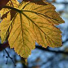 TRANSLUCENT SYCAMORE LEAF by Richard Brookes