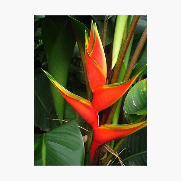 Beautiful Heliconia Photographic Print